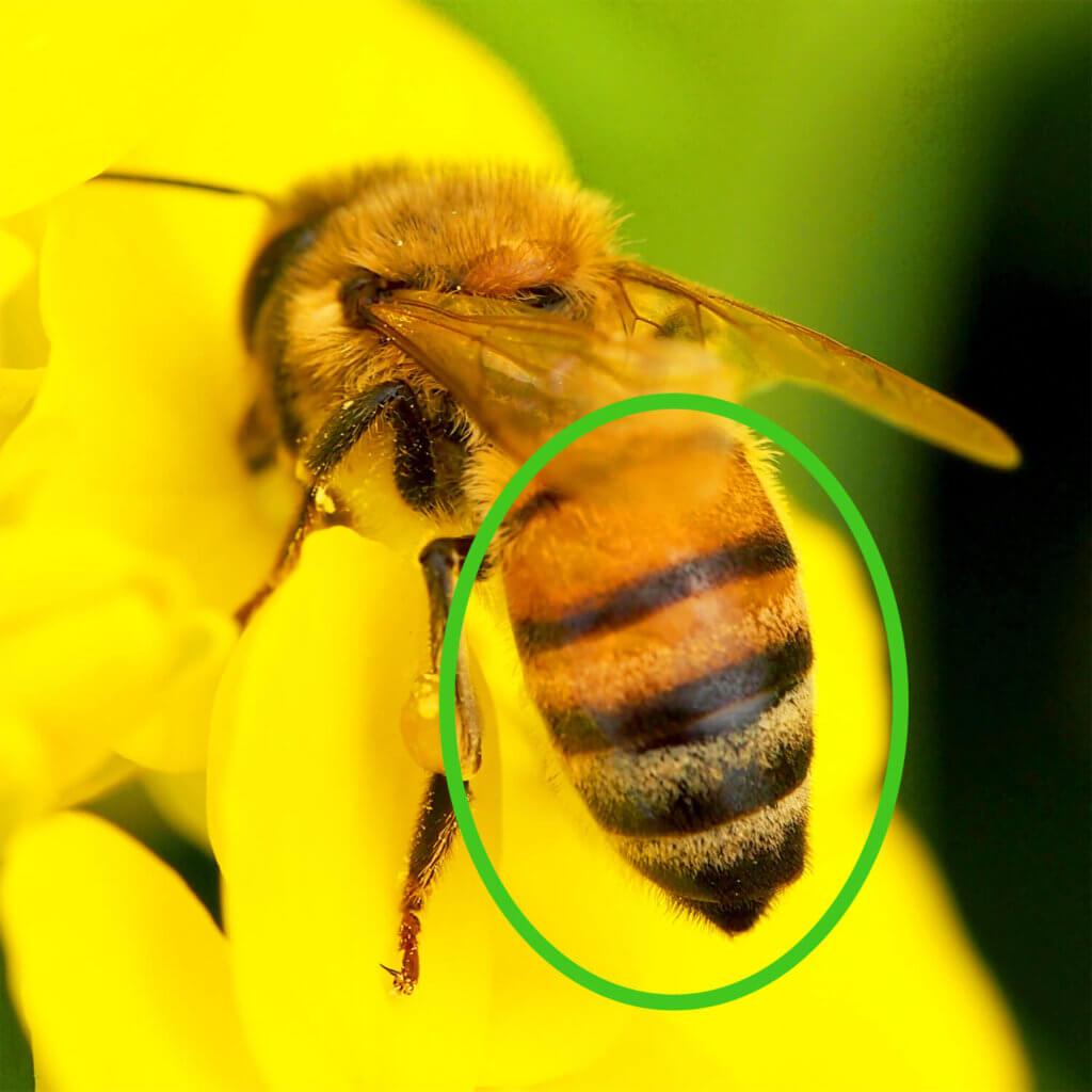 セイヨウミツバチは、お尻に茶褐色の部分が多い