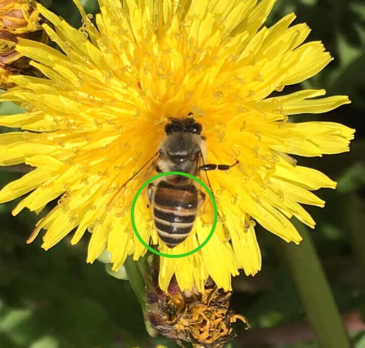 ニホンミツバチはお尻のボーダーははっきりしてます