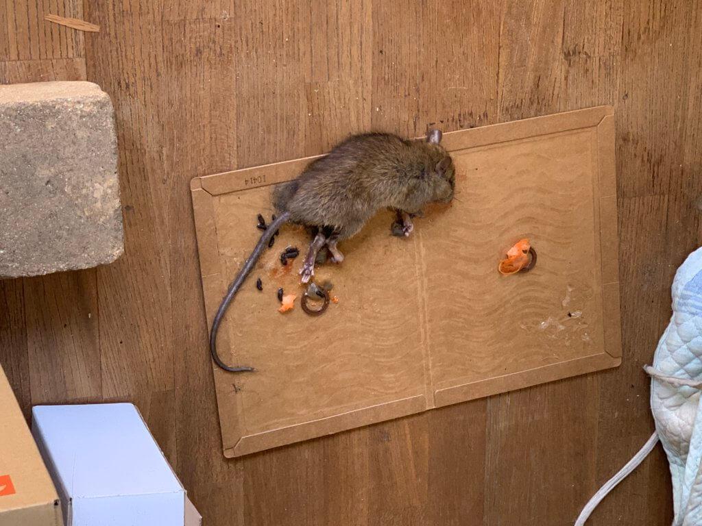 粘着シートにかかったネズミ